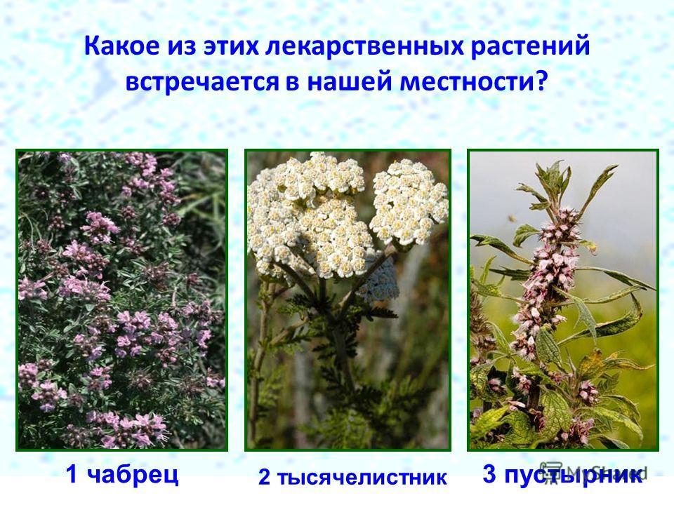 Какое из этих лекарственных растений встречается в нашей местности? 1 чабрец 2 тысячелистник 3 пустырник