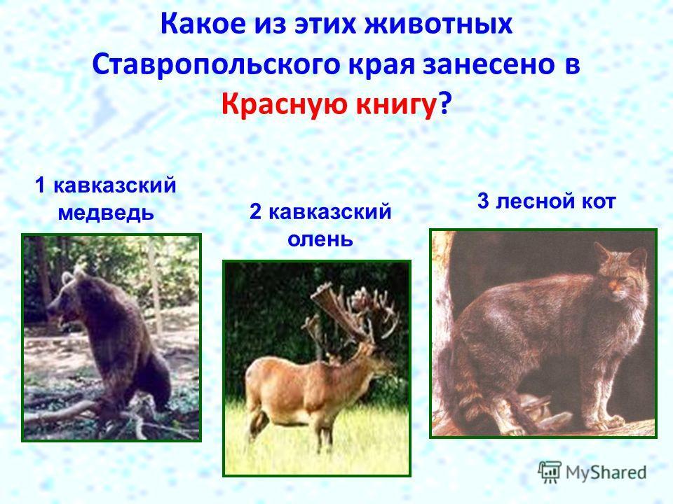 Какое из этих животных Ставропольского края занесено в Красную книгу? 1 кавказский медведь 2 кавказский олень 3 лесной кот