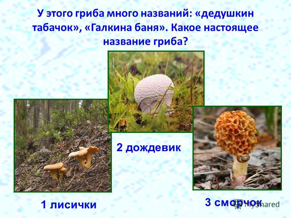 У этого гриба много названий: «дедушкин табачок», «Галкина баня». Какое настоящее название гриба? 1 лисички 2 дождевик 3 сморчок