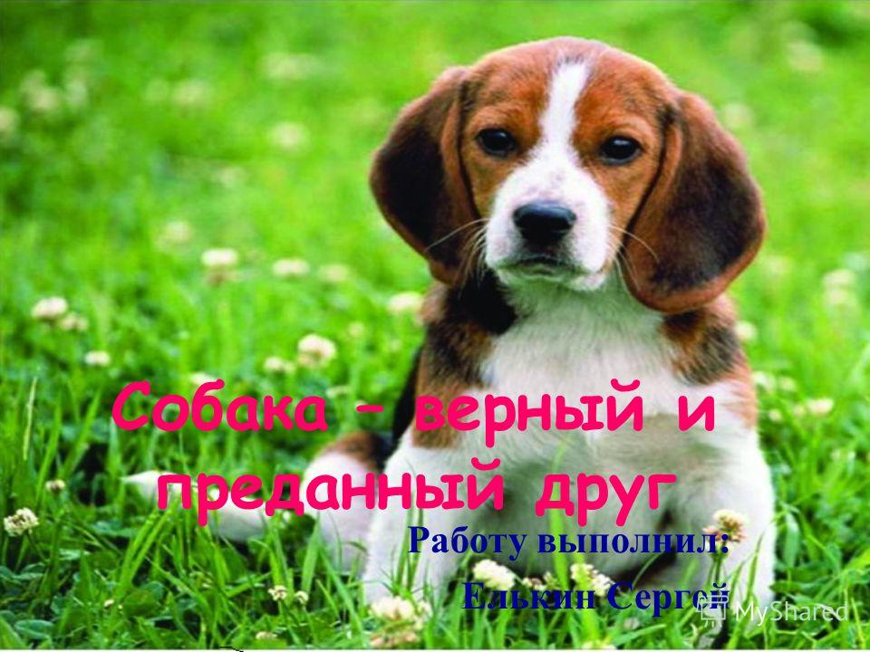 Собака – верный и преданный друг Работу выполнил: Елькин Сергей