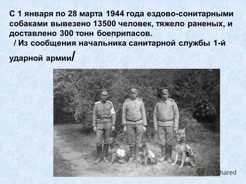 С 1 января по 28 марта 1944 года ездово-сонитарными собаками вывезено 13500 человек, тяжело раненых, и доставлено 300 тонн боеприпасов. / Из сообщения начальника санитарной службы 1-й ударной армии /