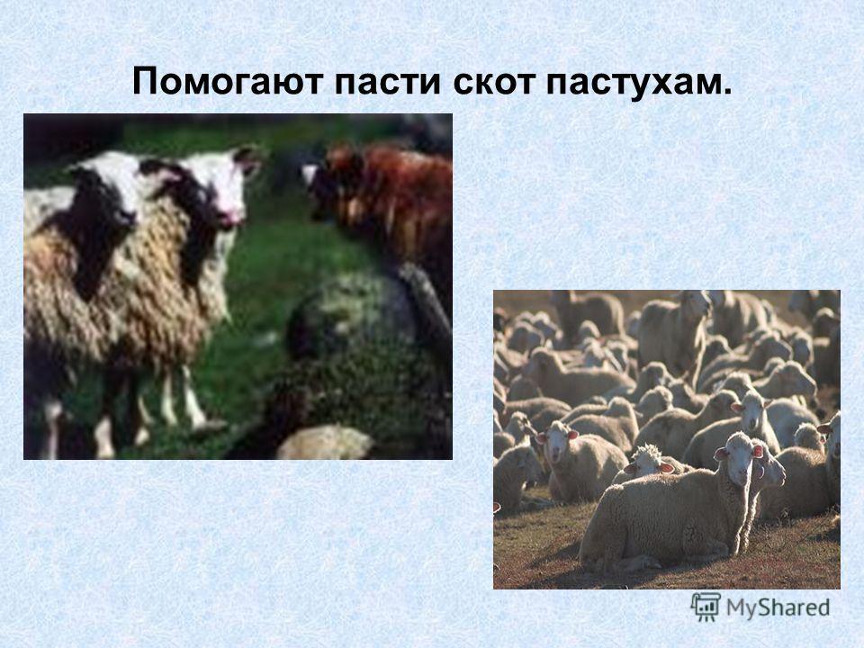 Помогают пасти скот пастухам.