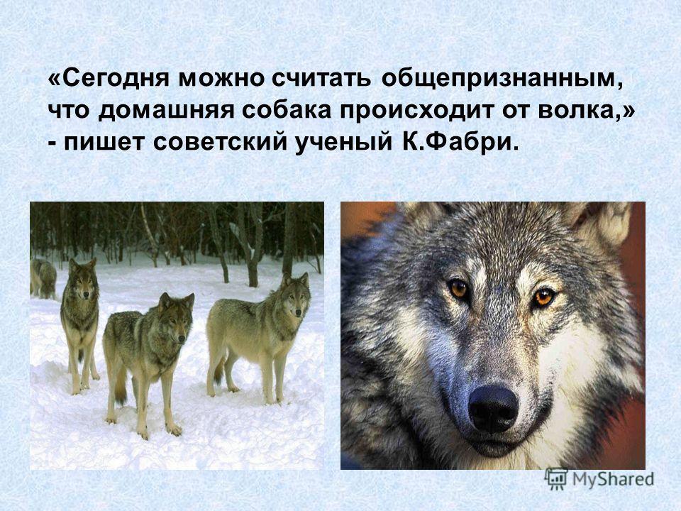 «Сегодня можно считать общепризнанным, что домашняя собака происходит от волка,» - пишет советский ученый К.Фабри.