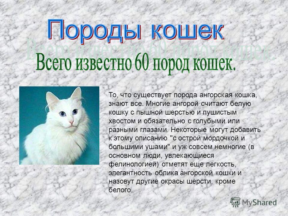 То, что существует порода ангорская кошка, знают все. Многие ангорой считают белую кошку с пышной шерстью и пушистым хвостом и обязательно с голубыми или разными глазами. Некоторые могут добавить к этому описанию