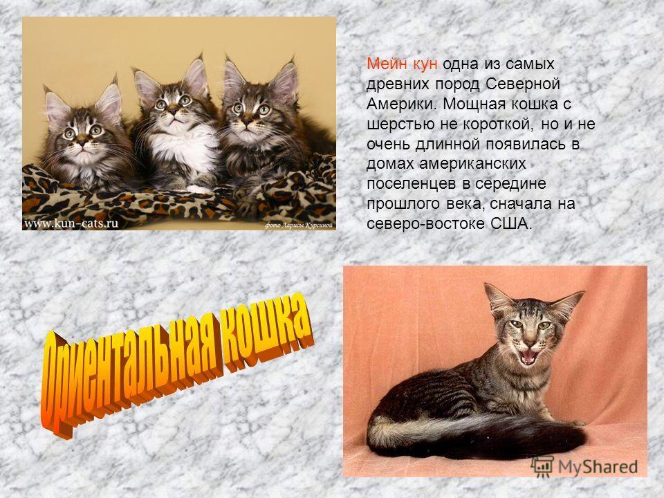 Мейн кун одна из самых древних пород Северной Америки. Мощная кошка с шерстью не короткой, но и не очень длинной появилась в домах американских поселенцев в середине прошлого века, сначала на северо-востоке США.