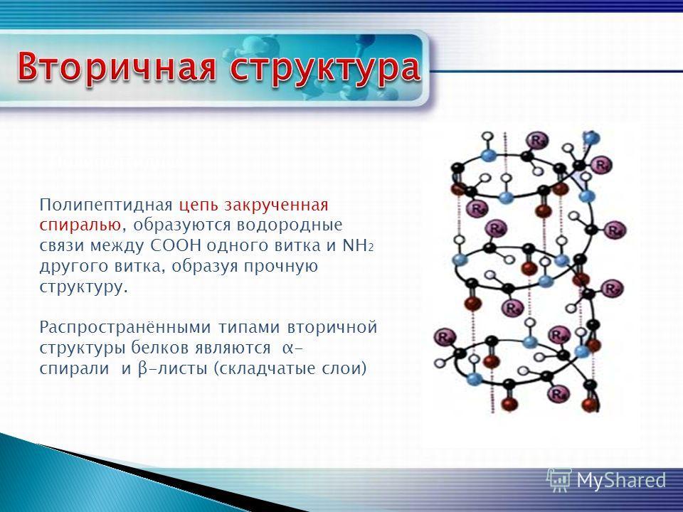 Полипептидная Полипептидная цепь закрученная спиралью, образуются водородные связи между СООН одного витка и NH 2 другого витка, образуя прочную структуру. Распространёнными типами вторичной структуры белков являются α- спирали и β-листы (складчатые