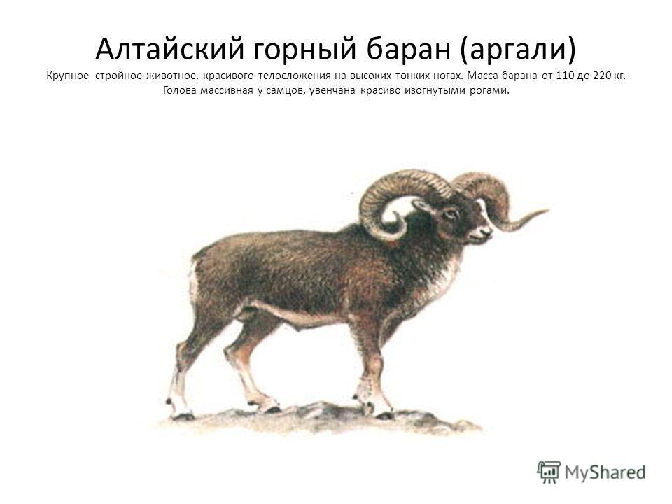 Алтайский горный баран (аргали) Крупное стройное животное, красивого телосложения на высоких тонких ногах. Масса барана от 110 до 220 кг. Голова массивная у самцов, увенчана красиво изогнутыми рогами.