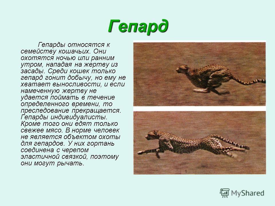 Гепард Гепарды относятся к семейству кошачьих. Они охотятся ночью или ранним утром, нападая на жертву из засады. Среди кошек только гепард гонит добычу, но ему не хватает выносливости, и если намеченную жертву не удается поймать в течение определенно
