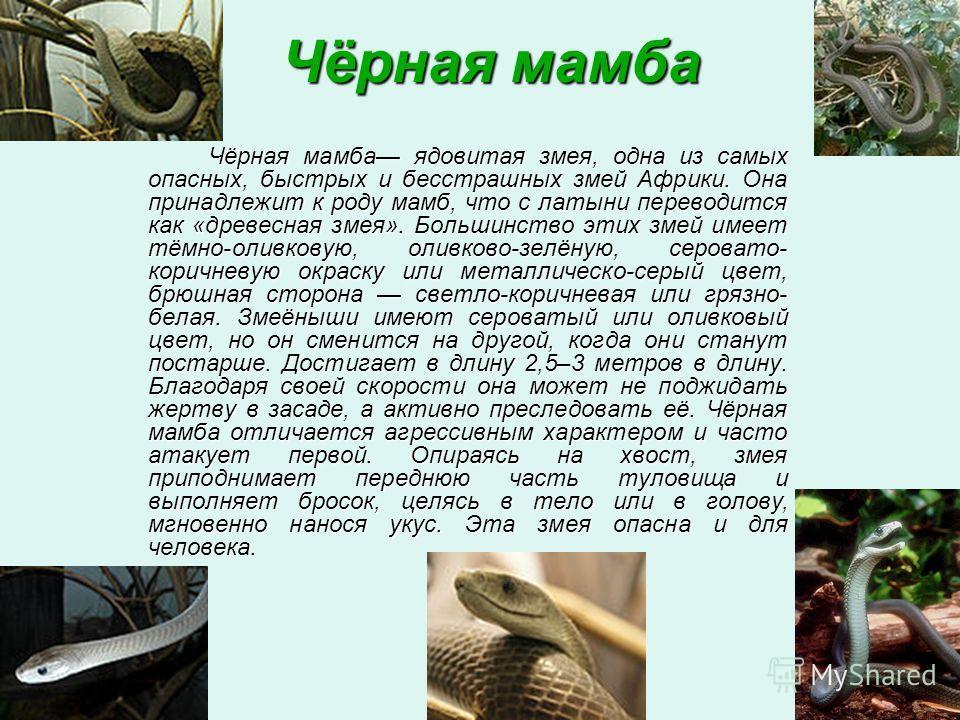 Чёрная мамба Чёрная мамба ядовитая змея, одна из самых опасных, быстрых и бесстрашных змей Африки. Она принадлежит к роду мамб, что с латыни переводится как «древесная змея». Большинство этих змей имеет тёмно-оливковую, оливково-зелёную, серовато- ко