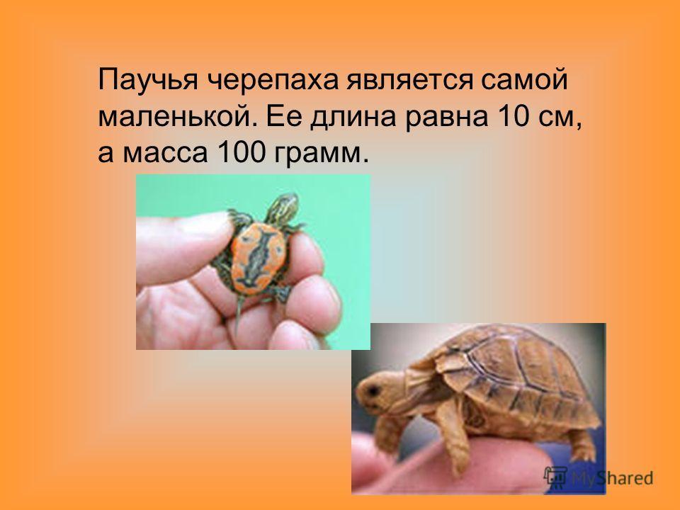 Паучья черепаха является самой маленькой. Ее длина равна 10 см, а масса 100 грамм.