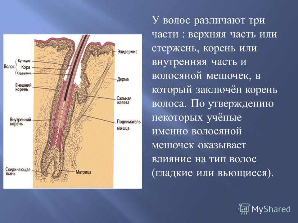 У волос различают три части : верхняя часть или стержень, корень или внутренняя часть и волосяной мешочек, в который заключён корень волоса. По утверждению некоторых учёные именно волосяной мешочек оказывает влияние на тип волос ( гладкие или вьющиес