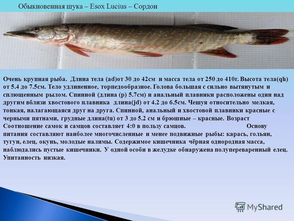 Обыкновенная щука – Esox Lucius – Сордон Очень крупная рыба. Длина тела (ad)от 30 до 42см и масса тела от 250 до 410г. Высота тела(qh) от 5.4 до 7.5см. Тело удлиненное, торпедообразное. Голова большая с сильно вытянутым и сплющенным рылом. Спинной (д