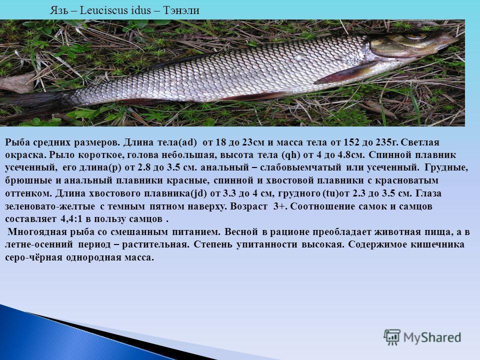 Язь – Leuciscus idus – Тэнэли Рыба средних размеров. Длина тела(ad) от 18 до 23см и масса тела от 152 до 235г. Светлая окраска. Рыло короткое, голова небольшая, высота тела (qh) от 4 до 4.8см. Спинной плавник усеченный, его длина(p) от 2.8 до 3.5 см.