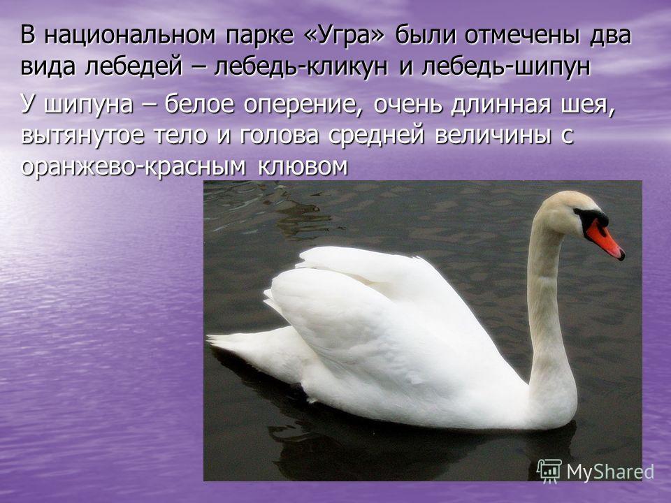 В национальном парке «Угра» были отмечены два вида лебедей – лебедь-кликун и лебедь-шипун У шипуна – белое оперение, очень длинная шея, вытянутое тело и голова средней величины с оранжево-красным клювом