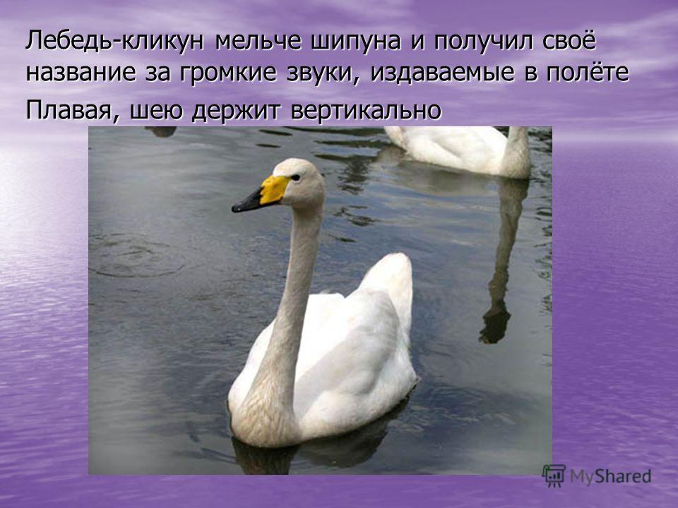 Лебедь-кликун мельче шипуна и получил своё название за громкие звуки, издаваемые в полёте Плавая, шею держит вертикально