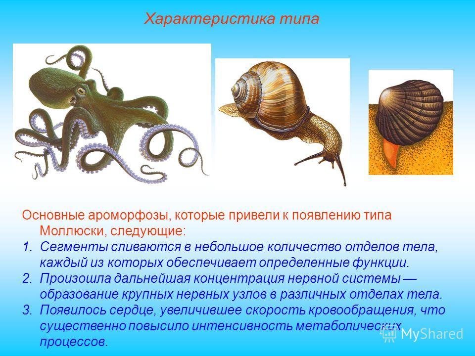 Характеристика типа Основные ароморфозы, которые привели к появлению типа Моллюски, следующие: 1.Сегменты сливаются в небольшое количество отделов тела, каждый из которых обеспечивает определенные функции. 2.Произошла дальнейшая концентрация нервной