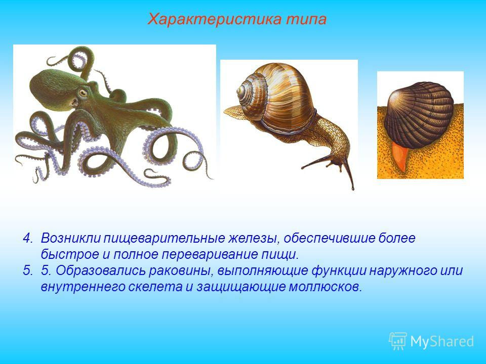 Характеристика типа 4.Возникли пищеварительные железы, обеспечившие более быстрое и полное переваривание пищи. 5.5. Образовались раковины, выполняющие функции наружного или внутреннего скелета и защищающие моллюсков.