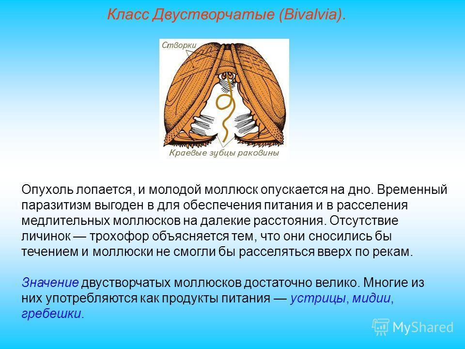 Класс Двустворчатые (Bivalvia). Опухоль лопается, и молодой моллюск опускается на дно. Временный паразитизм выгоден в для обеспечения питания и в расселения медлительных моллюсков на далекие расстояния. Отсутствие личинок трохофор объясняется тем, чт