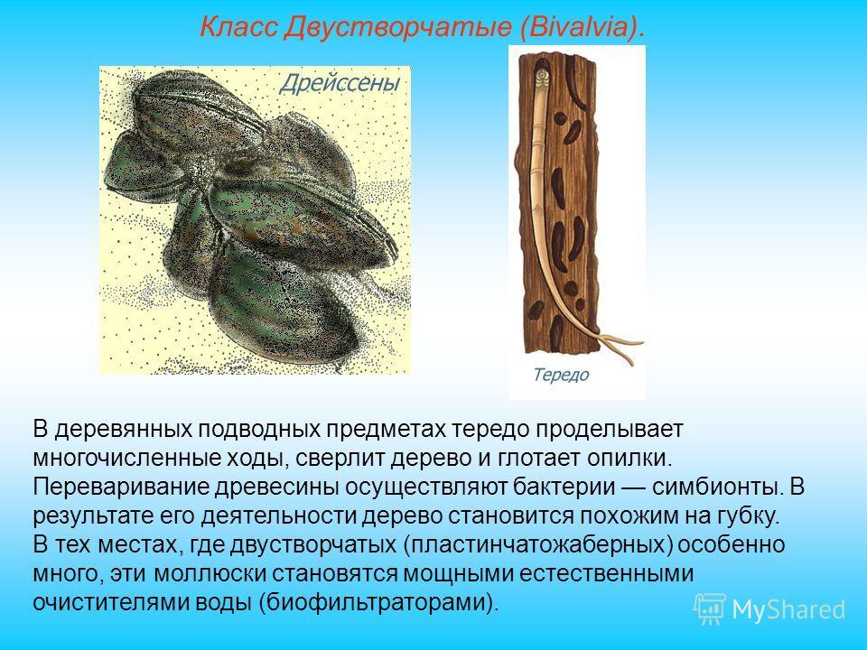 Класс Двустворчатые (Bivalvia). В деревянных подводных предметах тередо проделывает многочисленные ходы, сверлит дерево и глотает опилки. Переваривание древесины осуществляют бактерии симбионты. В результате его деятельности дерево становится похожим