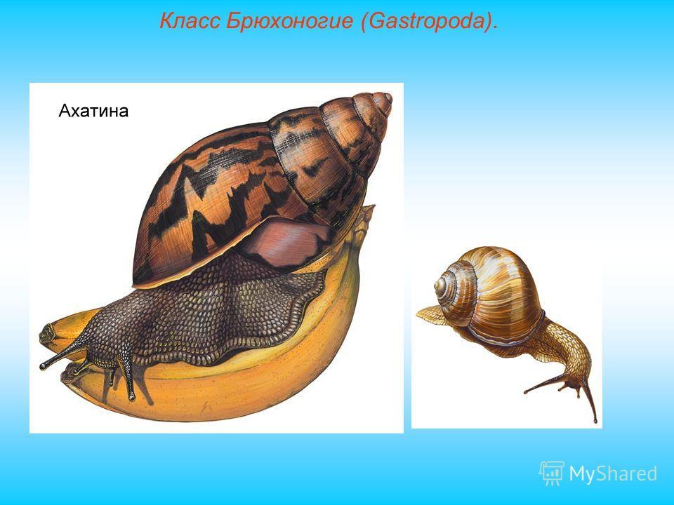 Класс Брюхоногие (Gastropoda).