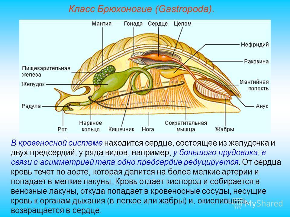 Класс Брюхоногие (Gastropoda). В кровеносной системе находится сердце, состоящее из желудочка и двух предсердий; у ряда видов, например, у большого прудовика, в связи с асимметрией тела одно предсердие редуцируется. От сердца кровь течет по аорте, ко