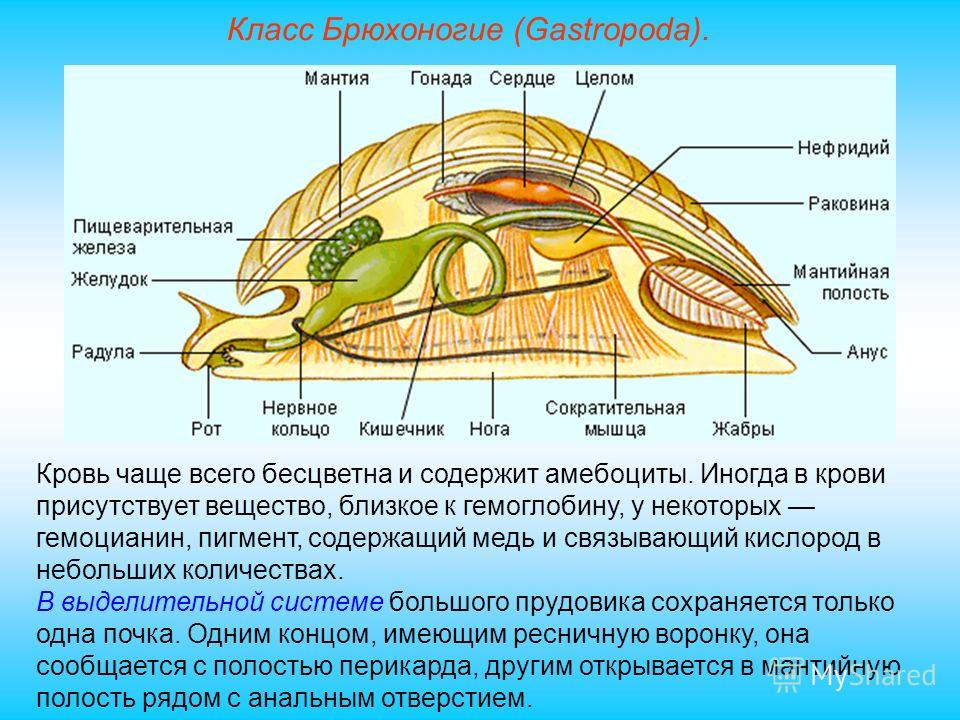 Класс Брюхоногие (Gastropoda). Кровь чаще всего бесцветна и содержит амебоциты. Иногда в крови присутствует вещество, близкое к гемоглобину, у некоторых гемоцианин, пигмент, содержащий медь и связывающий кислород в небольших количествах. В выделитель