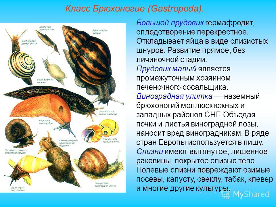 Класс Брюхоногие (Gastropoda). Большой прудовик гермафродит, оплодотворение перекрестное. Откладывает яйца в виде слизистых шнуров. Развитие прямое, без личиночной стадии. Прудовик малый является промежуточным хозяином печеночного сосальщика. Виногра
