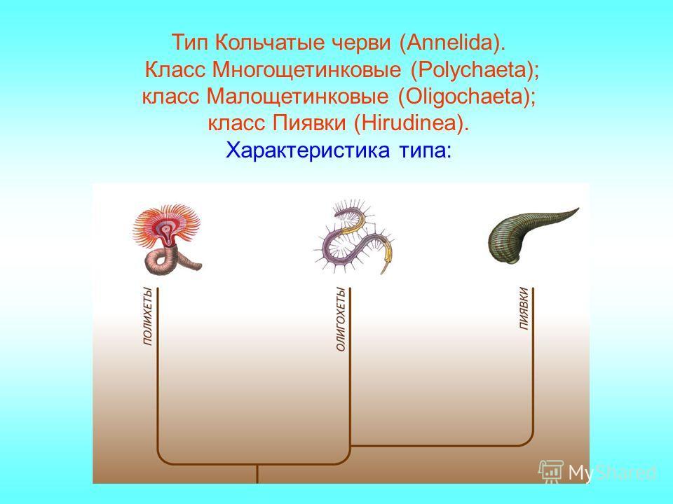 Тип Кольчатые черви (Annelida). Класс Многощетинковые (Polychaeta); класс Малощетинковые (Oligochaeta); класс Пиявки (Hirudinea). Характеристика типа: