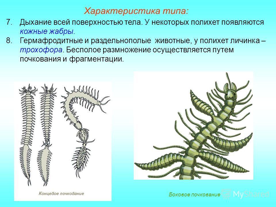 Боковое почкование 7.Дыхание всей поверхностью тела. У некоторых полихет появляются кожные жабры. 8.Гермафродитные и раздельнополые животные, у полихет личинка – трохофора. Бесполое размножение осуществляется путем почкования и фрагментации.