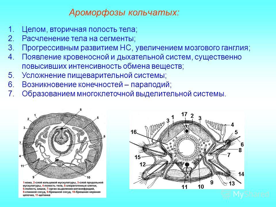 Ароморфозы кольчатых: 1.Целом, вторичная полость тела; 2.Расчленение тела на сегменты; 3.Прогрессивным развитием НС, увеличением мозгового ганглия; 4.Появление кровеносной и дыхательной систем, существенно повысивших интенсивность обмена веществ; 5.У