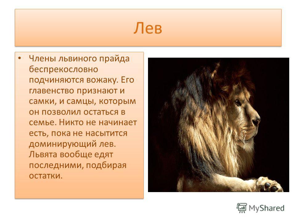 Лев Члены львиного прайда беспрекословно подчиняются вожаку. Его главенство признают и самки, и самцы, которым он позволил остаться в семье. Никто не начинает есть, пока не насытится доминирующий лев. Львята вообще едят последними, подбирая остатки.