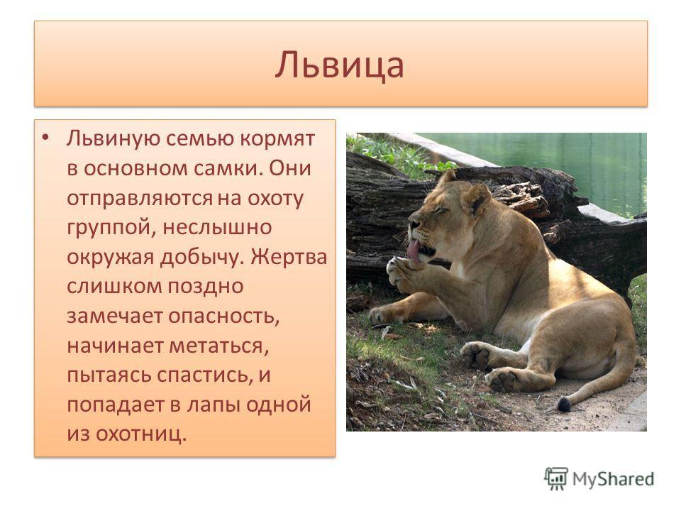 Львица Львиную семью кормят в основном самки. Они отправляются на охоту группой, неслышно окружая добычу. Жертва слишком поздно замечает опасность, начинает метаться, пытаясь спастись, и попадает в лапы одной из охотниц.