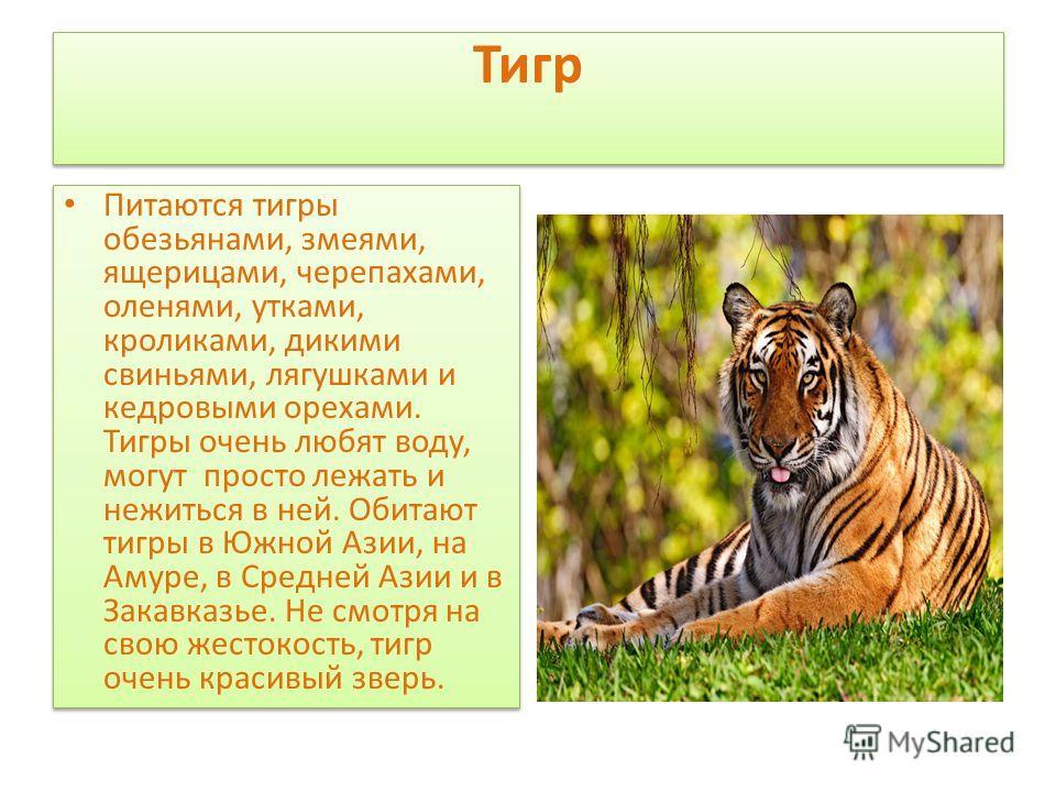 Тигр Питаются тигры обезьянами, змеями, ящерицами, черепахами, оленями, утками, кроликами, дикими свиньями, лягушками и кедровыми орехами. Тигры очень любят воду, могут просто лежать и нежиться в ней. Обитают тигры в Южной Азии, на Амуре, в Средней А