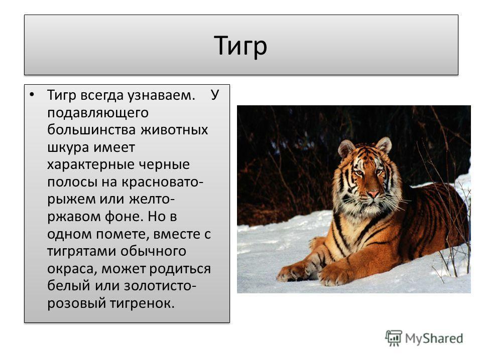 Тигр Тигр всегда узнаваем. У подавляющего большинства животных шкура имеет характерные черные полосы на красновато- рыжем или желто- ржавом фоне. Но в одном помете, вместе с тигрятами обычного окраса, может родиться белый или золотисто- розовый тигре