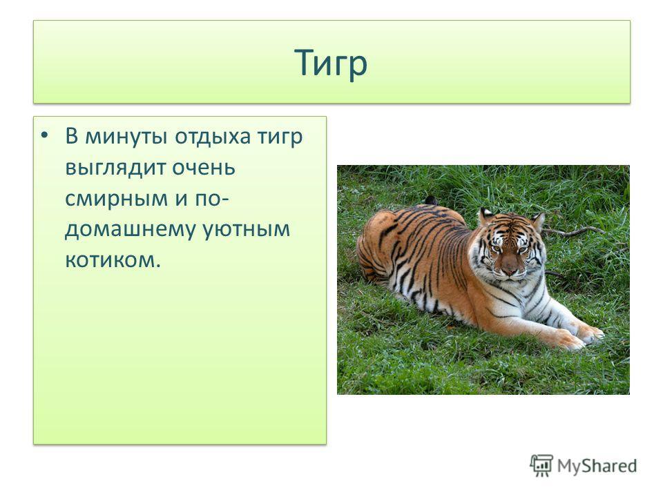 Тигр В минуты отдыха тигр выглядит очень смирным и по- домашнему уютным котиком.