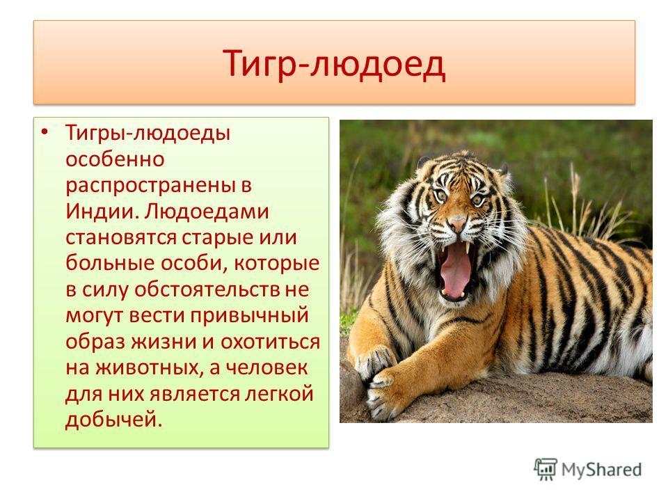 Тигр-людоед Тигры-людоеды особенно распространены в Индии. Людоедами становятся старые или больные особи, которые в силу обстоятельств не могут вести привычный образ жизни и охотиться на животных, а человек для них является легкой добычей.