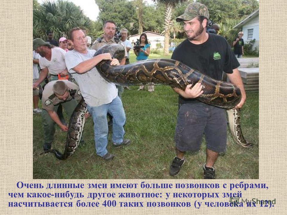 Очень длинные змеи имеют больше позвонков с ребрами, чем какое-нибудь другое животное: у некоторых змей насчитывается более 400 таких позвонков (у человека их 12).