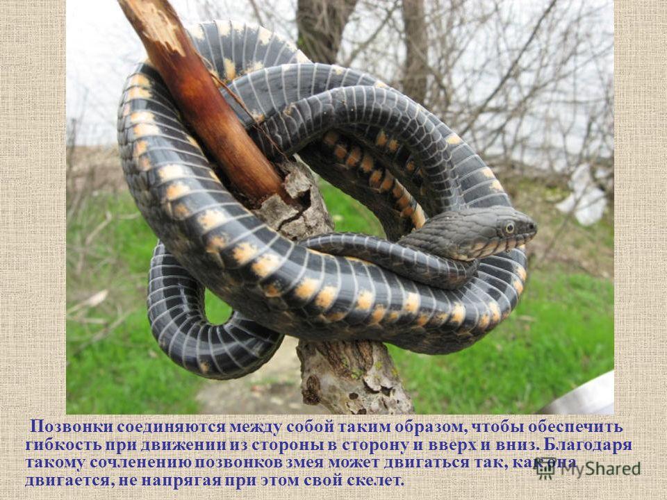 Позвонки соединяются между собой таким образом, чтобы обеспечить гибкость при движении из стороны в сторону и вверх и вниз. Благодаря такому сочленению позвонков змея может двигаться так, как она двигается, не напрягая при этом свой скелет.