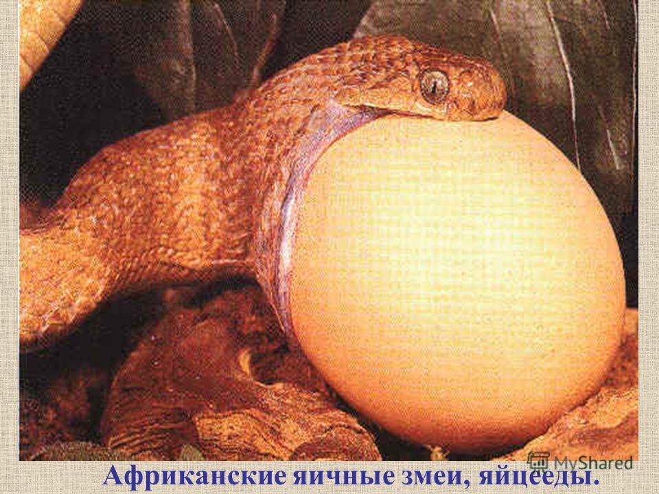 Африканские яичные змеи, яйцееды.