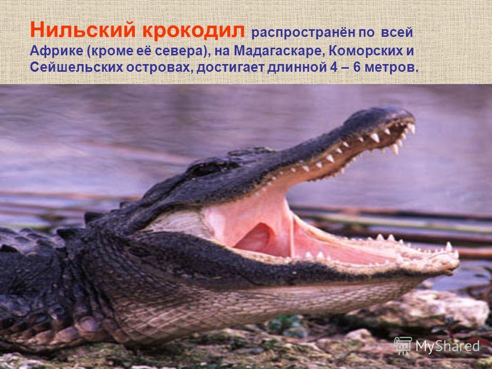 Нильский крокодил распространён по всей Африке (кроме её севера), на Мадагаскаре, Коморских и Сейшельских островах, достигает длинной 4 – 6 метров.