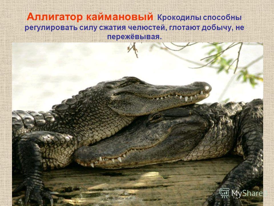 Аллигатор каймановый Крокодилы способны регулировать силу сжатия челюстей, глотают добычу, не пережёвывая.