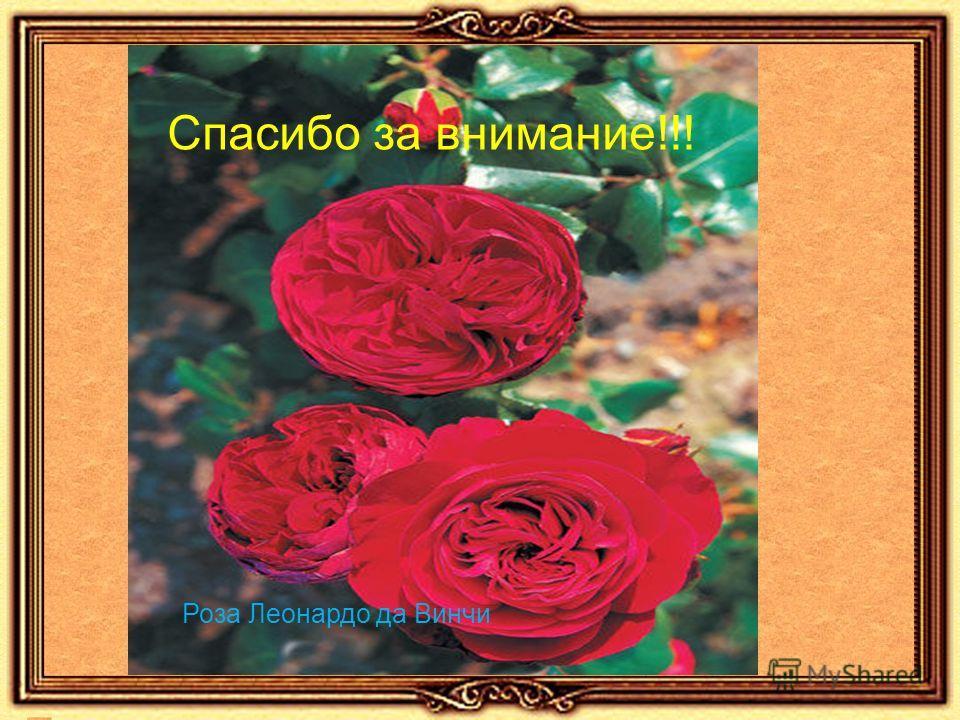 Спасибо за внимание!!! Роза Леонардо да Винчи
