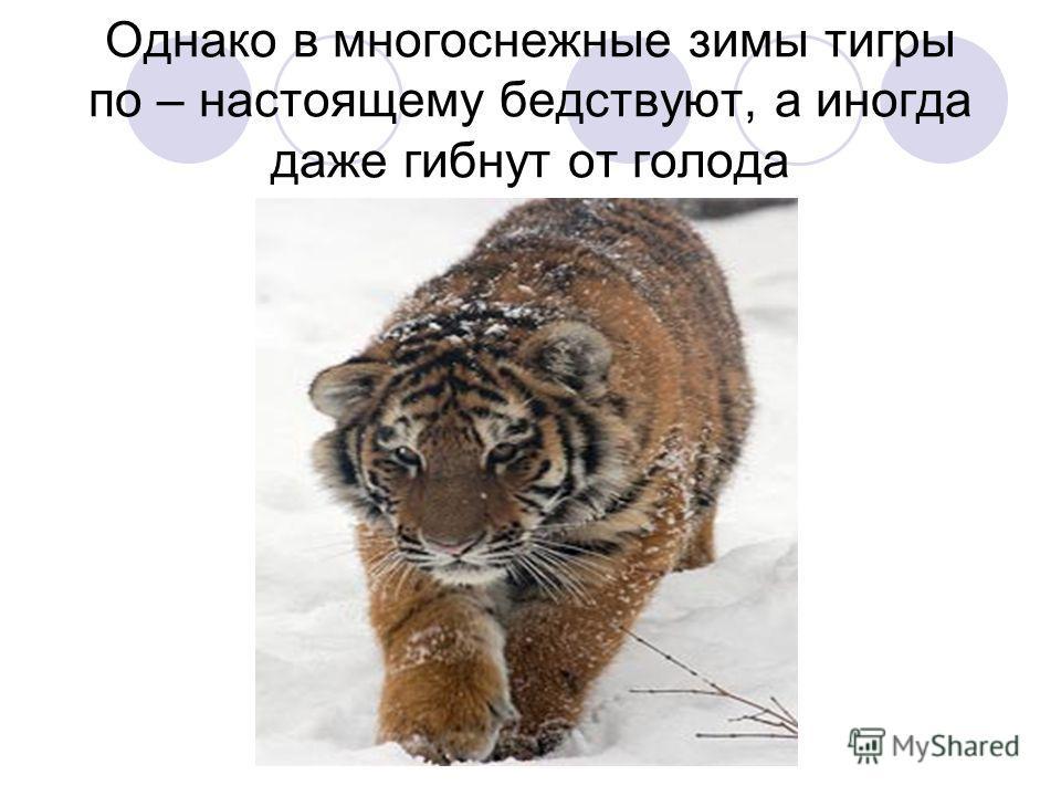 Однако в многоснежные зимы тигры по – настоящему бедствуют, а иногда даже гибнут от голода