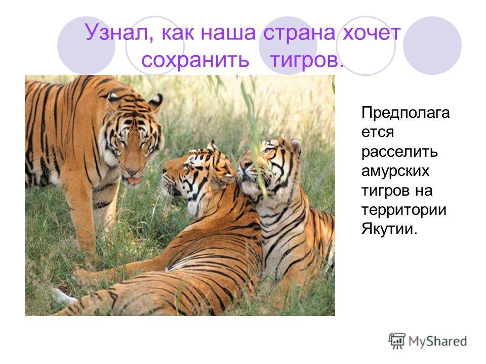Узнал, как наша страна хочет сохранить тигров. Предполага ется расселить амурских тигров на территории Якутии.