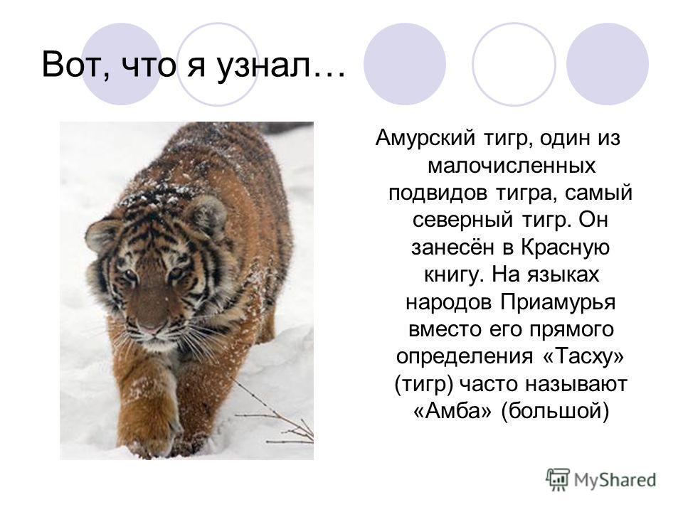 Вот, что я узнал… Амурский тигр, один из малочисленных подвидов тигра, самый северный тигр. Он занесён в Красную книгу. На языках народов Приамурья вместо его прямого определения «Тасху» (тигр) часто называют «Амба» (большой)