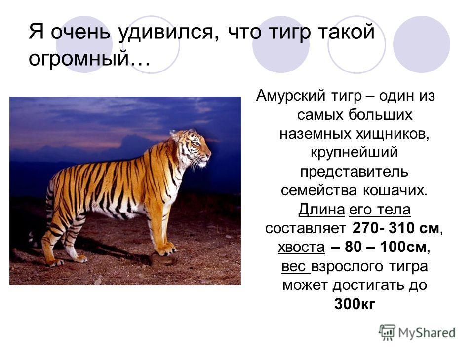 Я очень удивился, что тигр такой огромный… Амурский тигр – один из самых больших наземных хищников, крупнейший представитель семейства кошачих. Длина его тела составляет 270- 310 см, хвоста – 80 – 100см, вес взрослого тигра может достигать до 300кг