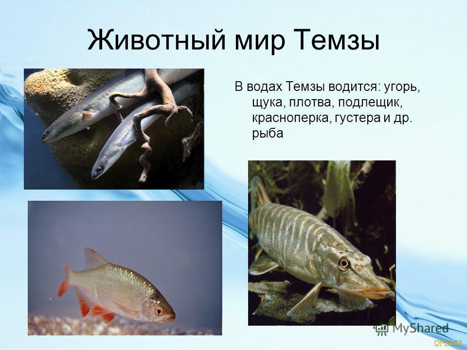 Животный мир Темзы В водах Темзы водится: угорь, щука, плотва, подлещик, красноперка, густера и др. рыба