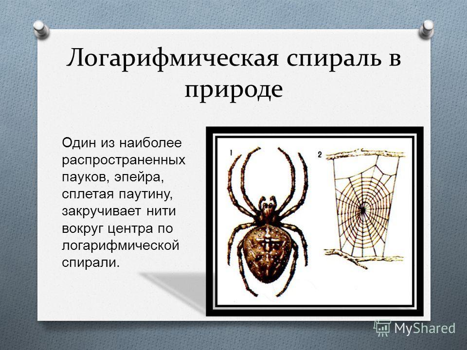 Логарифмическая спираль в природе Также логарифмическую спираль можно увидеть в рогах архара ( горного козла ).
