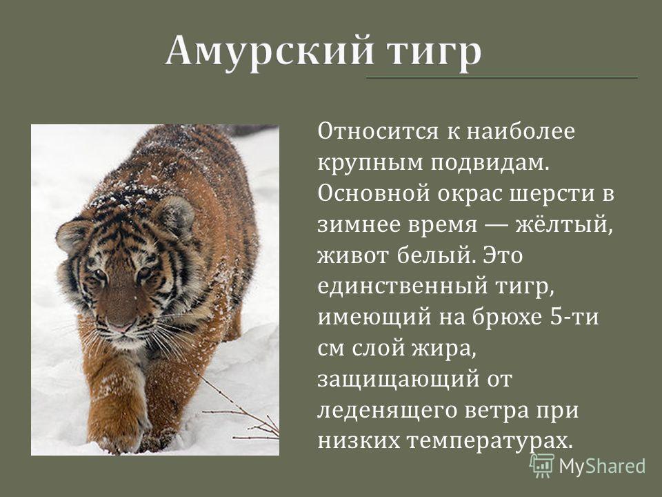 Относится к наиболее крупным подвидам. Основной окрас шерсти в зимнее время жёлтый, живот белый. Это единственный тигр, имеющий на брюхе 5- ти см слой жира, защищающий от леденящего ветра при низких температурах.
