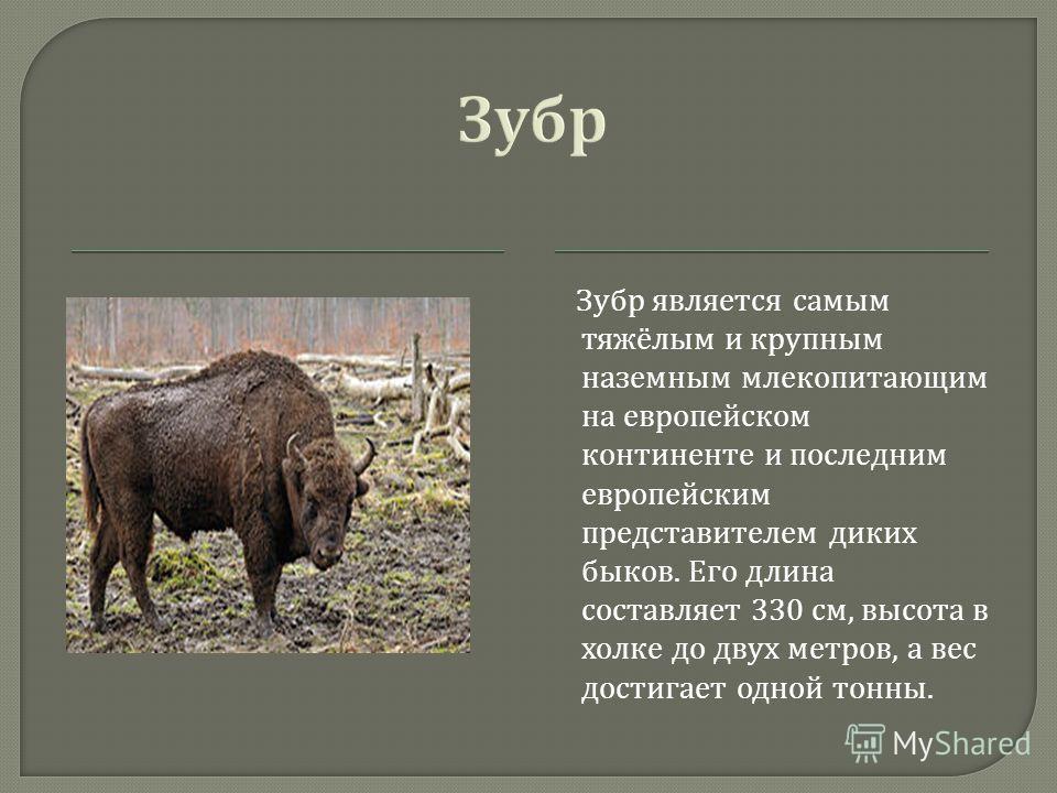 Зубр является самым тяжёлым и крупным наземным млекопитающим на европейском континенте и последним европейским представителем диких быков. Его длина составляет 330 см, высота в холке до двух метров, а вес достигает одной тонны.